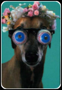 Greyhound con gafas